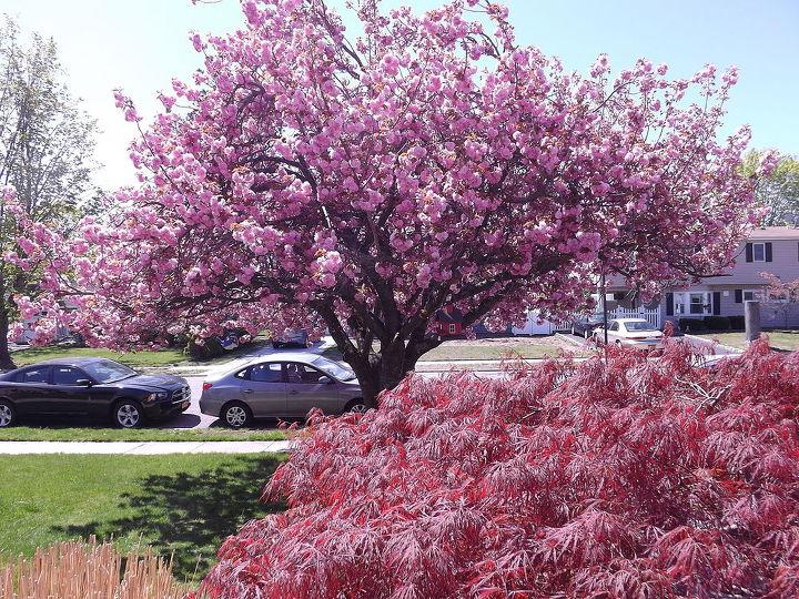 my beautiful cherry blossom tree, gardening