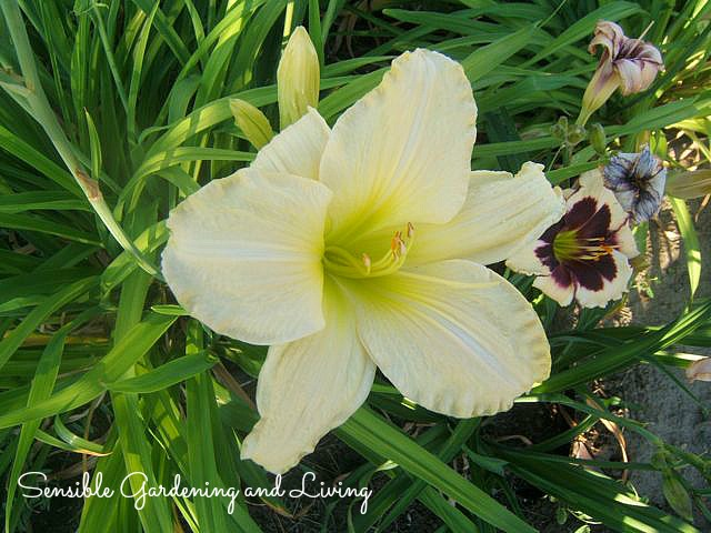 Daylily 'Joan Senior' has been around for quite a while but blooms for  a very long period of time.