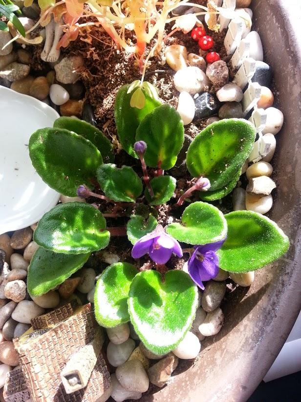q african violets, gardening