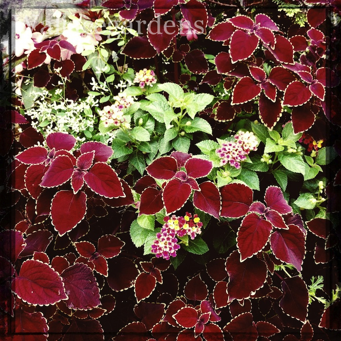My favorite Coleus is called 'Trailing Red' - it's like having strands of valentines hanging from your container gardens.